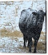 Snow Angus Canvas Print