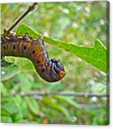 Snowberry Clearwing Hawk Moth Caterpillar - Hemaris Diffinis Canvas Print
