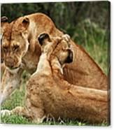 Sociable Lions   Canvas Print