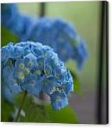 Soft Blue Hydrangea Canvas Print