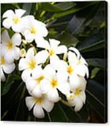 Soft Plumeria Canvas Print