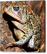Southern Toad Bufo Terrestris Canvas Print