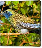 Sparkling Violet Ear Hummingbird Canvas Print