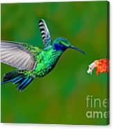 Sparkling Violetear Canvas Print