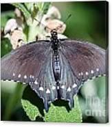 Spicebush Swallowtail Papilio Troilus Canvas Print
