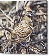 Spinifex Pigeon Canvas Print