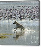 Spotted Hyaena Hunting For Food Canvas Print