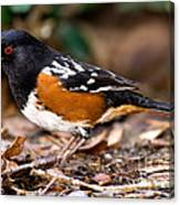 Spotted Towhee Pipilo Maculatus Canvas Print