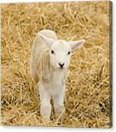 Spring Lamb Canvas Print