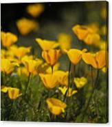 Springtime Poppies  Canvas Print