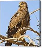 Steppe Eagle Aquila Nipalensis Canvas Print