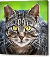 Stray Cat Stare Canvas Print