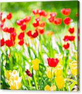 Sun Drenched Tulips - Featured 3 Canvas Print