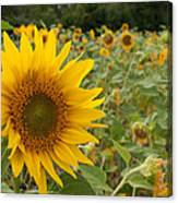 Sun Flower Fields Canvas Print