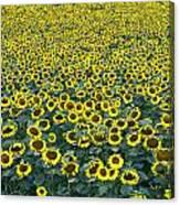 Sunflower Nirvana 13 Canvas Print