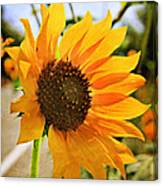 Sunflower With Texture Canvas Print