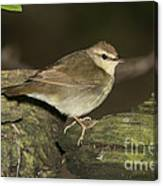 Swainsons Warbler Canvas Print