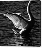 Swan Wingspan Canvas Print