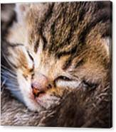 Sweet Small Kitten  Canvas Print