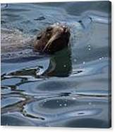 Swimming Sea Lion Canvas Print