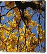 Tabebuia Tree Blossoms Canvas Print