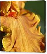 Tall Bearded Iris Named Penny Lane Canvas Print