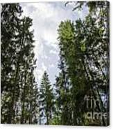 Tall Spruce Trees Canvas Print