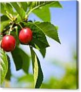 Tart Cherries Canvas Print