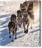 Team Of Sleigh Dogs Pulling Canvas Print