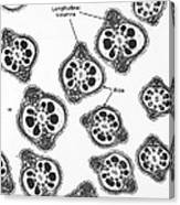 Tem Of Chinese Hamster Spermatozoa Canvas Print