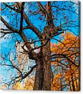 Texture Of The Bark. Old Oak Tree Canvas Print