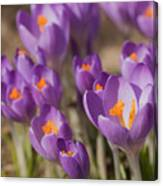 The Crocus Flowers Canvas Print
