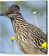 The Greater Roadrunner  Canvas Print