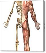 The Human Skeleton And Muscular System Canvas Print