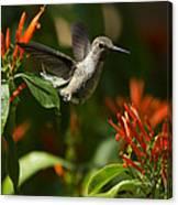 The Hummingbird Hover  Canvas Print