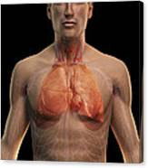 The Respiratory And Cardiovascular Canvas Print