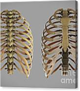 Thoracic Cage Canvas Print