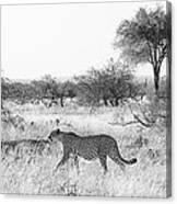 Three Cheetahs At Mashatu Canvas Print