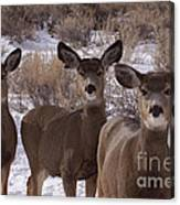 Three Does   #7576 Canvas Print