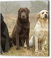 Three Kinds Of Labradors Canvas Print
