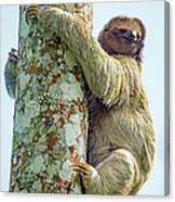 Three-toed Sloth Bradypus Tridactylus Canvas Print