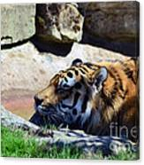 Tiger Playing Canvas Print