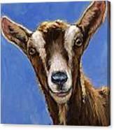 Toggenburg Goat On Blue Canvas Print