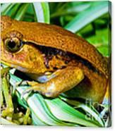 Tomato Frog Canvas Print