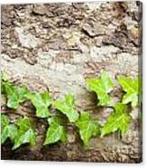 Tree Vine Canvas Print