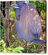 Tricolored Heron Egretta Tricolor Canvas Print