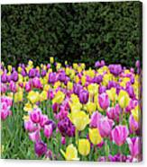 Tulip Flowers In A Garden, Chicago Canvas Print