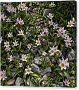Tulipa Saxatilis Ssp. Bakeri Canvas Print