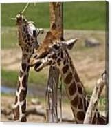 Two Reticulated Giraffes  - Giraffa Camelopardalis Canvas Print