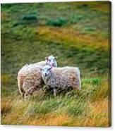 Two Sheep Canvas Print